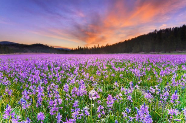 A single white Camas Lily flower in a field of purple flowers atsunrise in Sagehen Meadows near Truckee in California